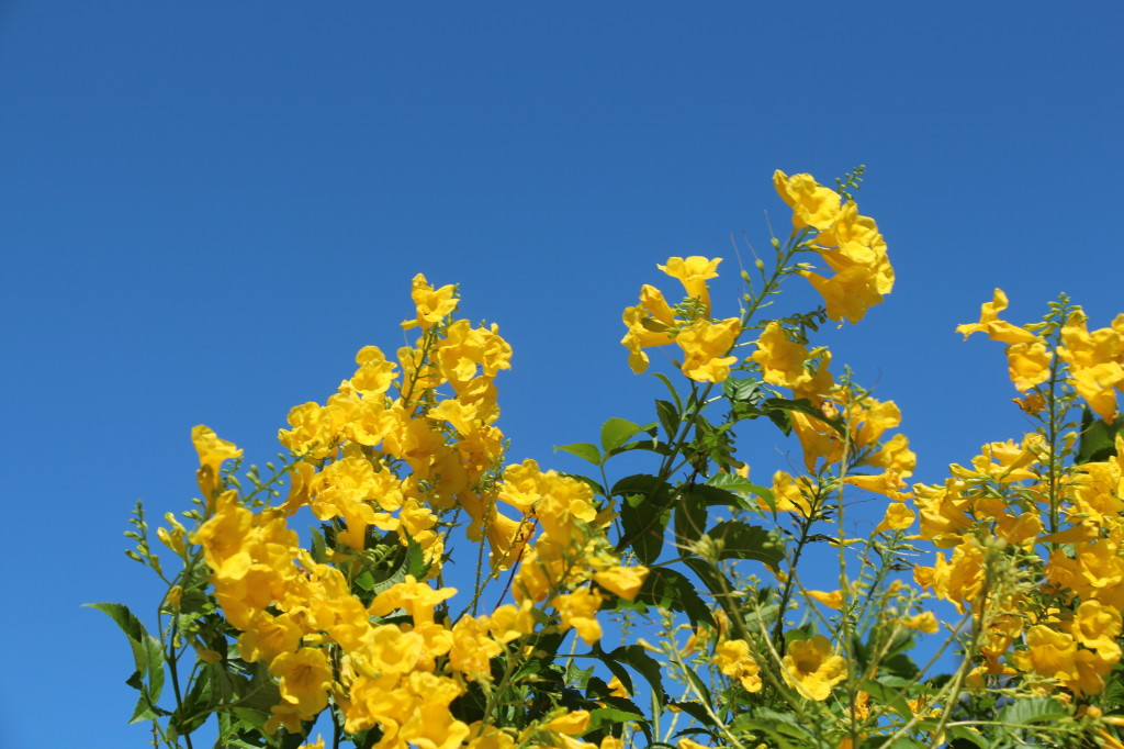yellow flowers in a blue sky
